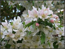 Paradise Apple Blossoms (2) by Michies-Photographyy