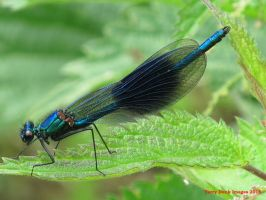 Banded Demoiselle by Terrydunk