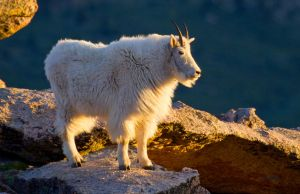 Rocky Mountian Mountian Goat by Grouper