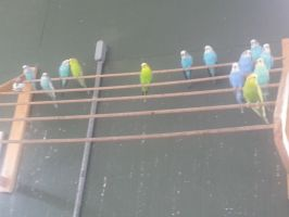 Colorful Parakeets by GoddessSpiritwolf