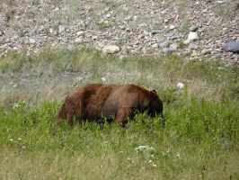 another brown bear eatting by theresashaw