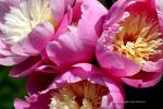 Peony Bowl of Beauty... more flowers by GeaAusten