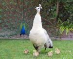 peafowl family by kiwipics