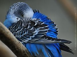 Budgerigar by webcruiser