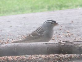 White-Crowned Sparrow (Zonotrichia leucophrys) 3a by Windthin