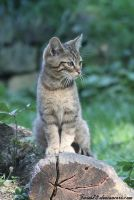 wildcat for free fella by Twins72