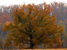 a tall tree in the autumn by DisneyPrincessNeeNee