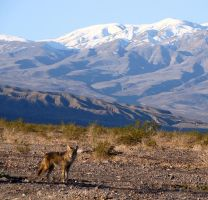 Death Valley Coyote 2 by Geotripper