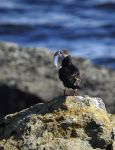 Puffin on the island of Vigur by DaveAyerstDavies