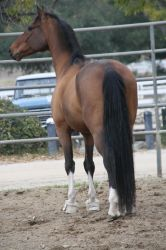 crazy warmblood 14 by Aestivall-Stock
