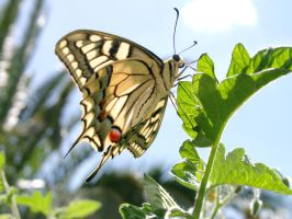 Papilio machaon by Lolinilandecadon
