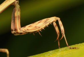Hands of a prayer (brown mantis) by Kisarisary