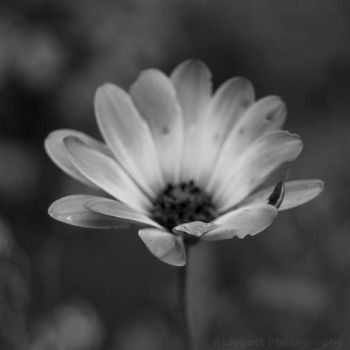 Flower by RLiggett