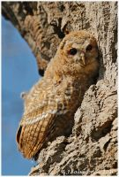 Tawny Owlet by andy-j-s