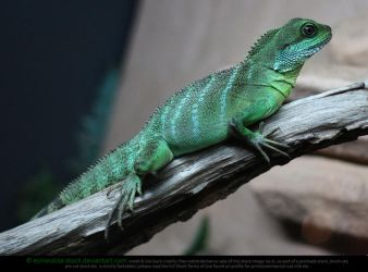 Chinese Water Dragon by Esmeralda-stock