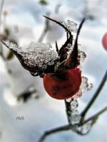 Winter Berry by Iris-cup