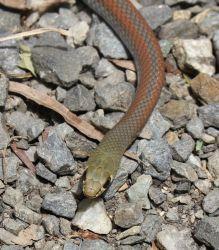 Yellow Faced Whipsnake (Demansia psammophis) by SnakeOutBrisbane