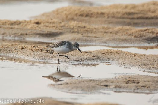 Little Stint by DebasishPhotos