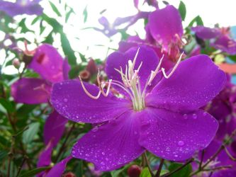 Tibouchina by DoodlebertDesigns