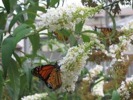 buddleias and butterflies by InexplicablyIris