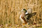 Fall Beauty - American Wigeon Male by Spirit-whales