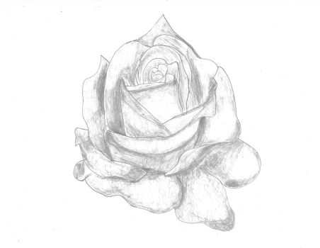White rose by DFdirector