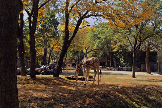 Giraffes at the Zoo by abekowalski