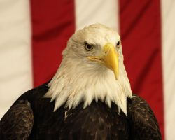 American Bald Eagle by papatheo