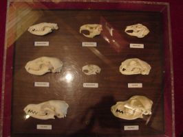 Various Animal Skulls 1 by FantasyStock
