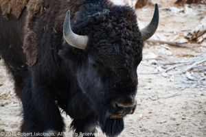 Bison Close by rjakobson