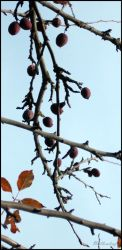 Crab Apple by willowleaf