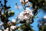 Cherry Blossoms on Mossy Branch by dbvictoria