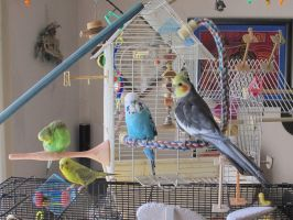 Maui and the Budgies by Windthin