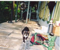 Hemingway House Kitty by dawny