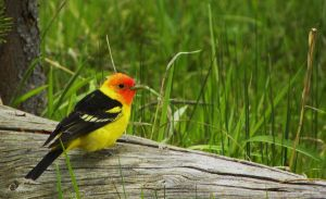 Western Tanager by TheYellowstoneWay