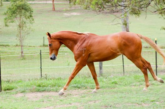 Soft canter love this pose by Chunga-Stock