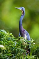 .:Tricolored Heron II:. by RHCheng