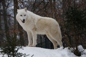 White wolf by Tygrik