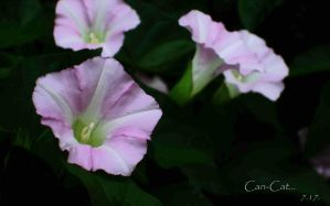 Morning Glories by Can-Cat