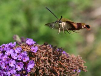 Snowberry Clearwing Moth 2 by LadyLyonnesse