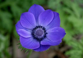 Blue Anemone by Firey-Sunset