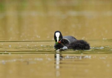 coots by thisable