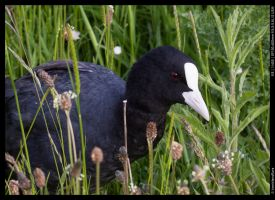 Coot in the grass - 2 by ironiclensflare