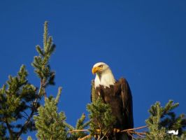 Bald Eagle Framed In Tree by wolfwings1