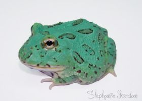 Blue Pacman Frog by Toxic-Muffins-Studio