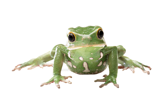 Tropical frog on a transparent background by ZOOSTOCK
