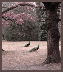 the double peacock by elbe-none