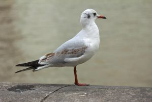 Seagull on London Bridge. by LouHartphotography