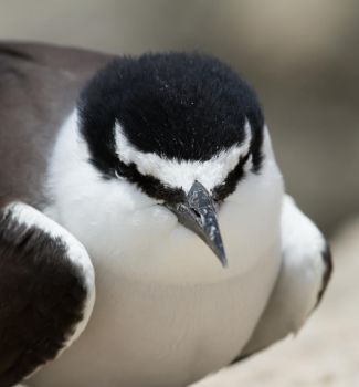 Bridled Tern by SirTimid