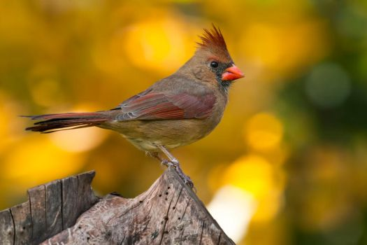 Northern cardinal - female by MichelLalonde